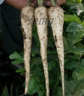 Bielas (500 gr) seminte de pastarnac cu radacina alba neteda fara inima lemnoasa, aroma deosebita, capacitate excelenta de pastrare, Semo Cehia