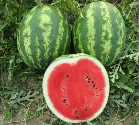 Bomber F1 - 500 sem - Seminte de pepene verde tip Crimson cu fructe rotunde greutate medie de 12-14 kg miez dulce ce se preteaza pentru cultivare in tunel sau in camp deschis de la Cora Seeds