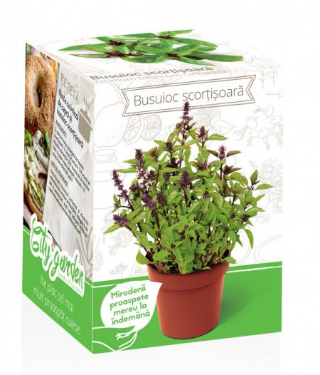 Busuioc cu aroma de scortisoara - Kit plante aromatice