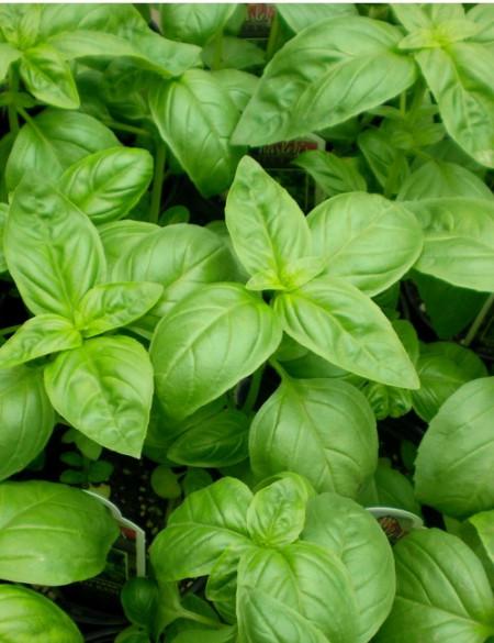 Busuioc verde clasic (1300 seminte) de busuioc planta aromatica, de la Opal