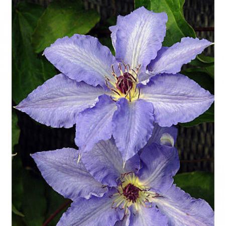 Clematite Laura (1.5 m in ghiveci de 2 L), tufa ornamentala cataratoare Clematis, cu flori de culoarea cerului albastru si stamine purpurii