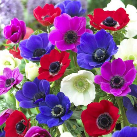 De Caen Mixed (10 bulbi), anemone amestec colorat, bulbi de flori