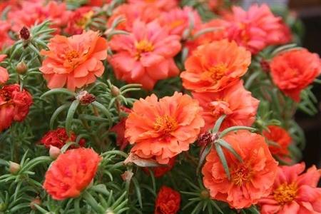 Flori de Piatra - Seminte Floare de Piatra Culoare Portocalie-Rosu Portulaca Grandiflora de la Florian