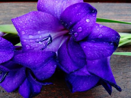 Gladiole Blue (5 bulbi), floare albastra incantatoare, bulbi de flori