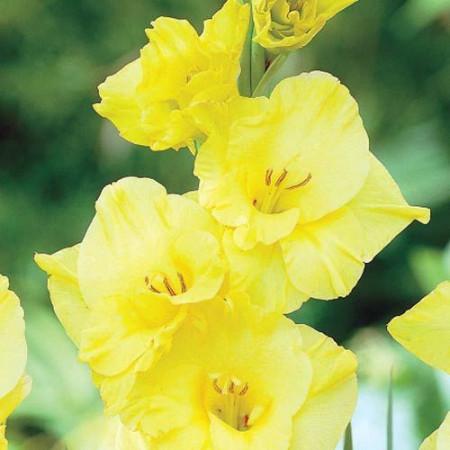 Gladiole Limoncello (7 bulbi), gladiole cu flori mari, cu petale galben-lamaie si interiorul auriu, bulbi de flori