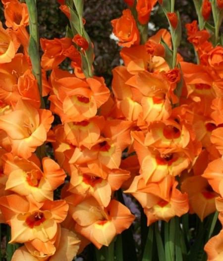 Gladiole Royal Class (7 bulbi), gladiole cu flori elegante in nuante de galben si orange, bulbi de flori