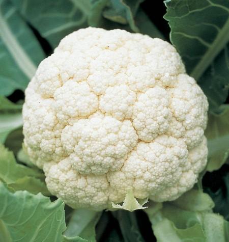 Goodman - 1000 sem - Seminte de conopida ce produce inflorescente albe compacte de foarte buna calitate de la Bejo
