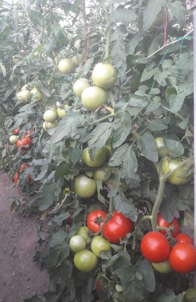 Gramada F1 (1 gr) Seminte Tomate Hibrid Nou Bulgaresc Nedeterminat Semitimpuriu