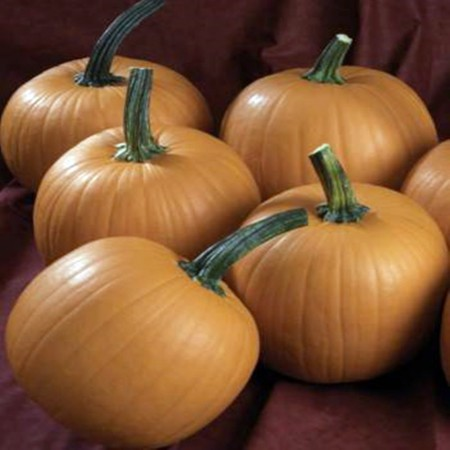 Halloween Terrafin F1 - 1000 sem - Seminte de dovleac cu fructe uniforme in numar de 4 - 5 pe planta ajungand la o greutate de 4 kg de la Sakata