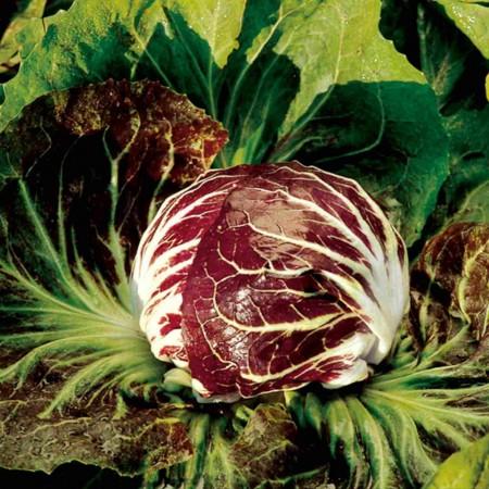 Indigo - 5000 sem - Seminte de radicchio rosso ce prezinta maturitate timpurie si o buna uniformitate cu capatani mici ce sunt ideale in prepararea unei salate de la Bejo