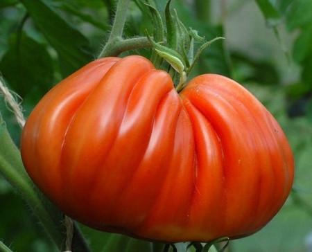 Inima de Albenga (150 seminte) tomate crete nedeterminate semitimpurii, Laktofol