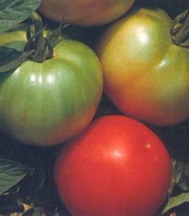 ISI 30576 F1 - 500 sem - Seminte de rosii cu fructe mari si forma sferica ce se preteaza excelent pentru vanzarea la piata avand greutati cuprinse intre 180-220 de grame de la ISI Sementi