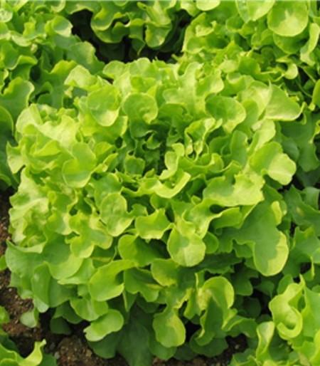 Isira - 5 grame - Seminte de salata tip frunza de stejar ideala pentru cultivare pe tot parcursul anului ce produce o capatana mare bogata in multe frunze mici aspectul comercial fiind unul excelent de la Isi Sementi