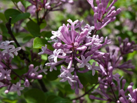 Liliac Miss Kim, arbust ornamental cu flori grupate in buchete conice, albastru-lavandă, parfum intens, Yurta