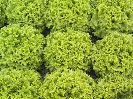 Oleole  - 5000 sem - Seminte de salata creata tip batavia pentru camp de la Syngenta