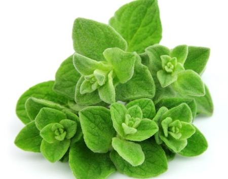 Oregano Medicinal (Sovarf) 0.4 gr de seminte Plante Medicinale Oregano de la Florian