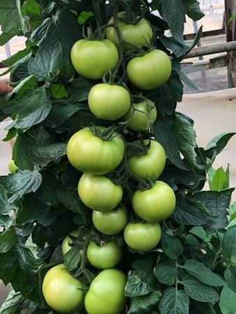Ozkan F1 (1000 seminte) hibrid de rosii extra-timpurii nedeterminate, productie mare, Yuksel