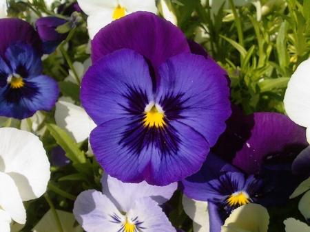 Pansele MOV - Seminte Flori Panselute Mov de la Florian