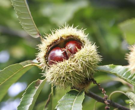 fructele de castan varicoseza ieftine geli mazi de la varicoză