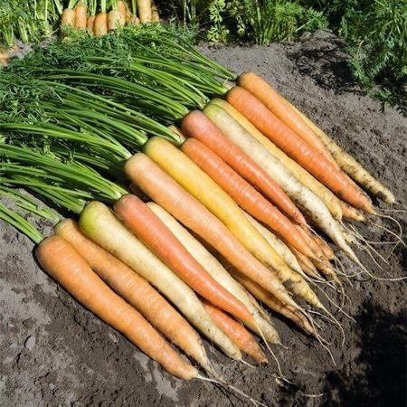 Rainbow F1 - 25.000 sem - Seminte de morcovi colorati (calibru seminte > 2.0 mm) tip Nantes recomandat pentru cultura timpurie cu radacini cilindrice de diferite culori : alb galben si portocaliu de la Bejo