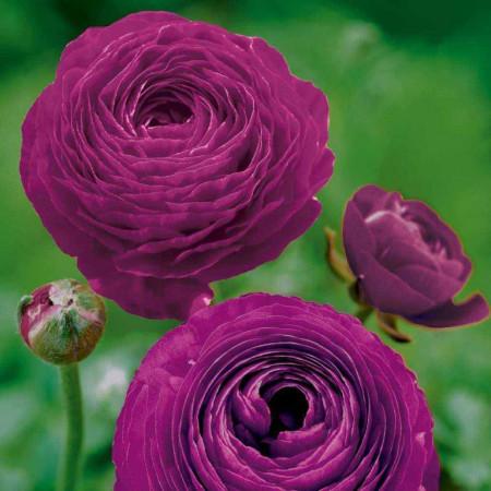 Ranunculus Purple (10 bulbi), flori culoare mov, inflorescenta bogata, bulbi de flori