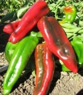 Rossano F1 - 500 sem - Seminte de ardei kapia cu fructe de forma conica 18-20 cm lungime de culoare verde ce devin rosii la maturitatea deplina recomandati pentru consumul in stare proaspata si pentru industrializare de la United Genetics