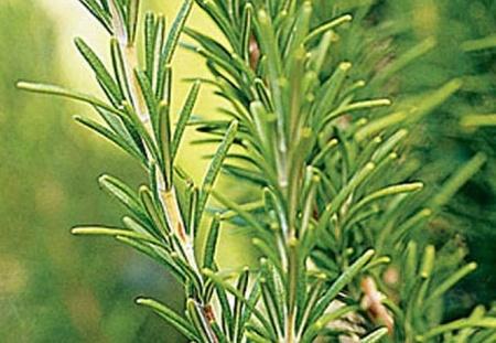 Rozmarin (0.02 gr) Seminte de Rozmarin Plante Medicinale Rozmarin de la Mefim Agro Romania