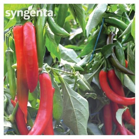 Sahem F1 - 500 sem - Seminte de ardei iute foarte productiv timpuriu culoare verde inchis coacere in rosu de la Syngenta