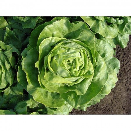 Santoro - 1000 sem - Seminte de salata de capatana DR de culoare verde stralucitor ce cantareste 500-700 grame ce se preteaza excelent pentru culturile de vara si nu emite tija florala de la Rijk Zwaan