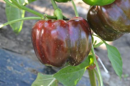 Seminte ardei Aurelius F1 (500 seminte), ardei gogosar, Hektar Agrosel