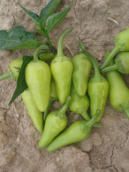 Seminte ardei iute Maceasa Alba (Byala Shipka), 5 gr, soi semitimpuriu, Opal