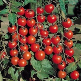 Sonia de Buzau - 2 grame - Seminte Tomate tip Cireasa Soi Timpuriu de la SCDL Buzau
