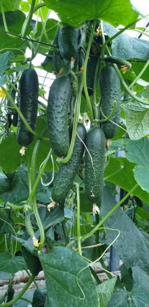 Spino F1 (100 seminte) seminte de castraveti tip cornichon extratimpuriu culoare verde inchis de la Syngenta