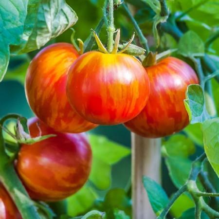 Tigerella (100 seminte) tomate de culoare rosu intens cu dungi portocalii, gust placut, Agrosem