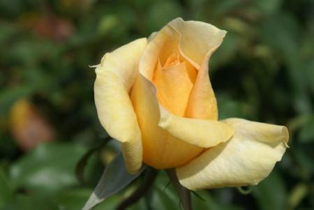 Trandafir Teahybrid Casanova, 1 butas de trandafir in ghiveci 2 l cu inflorire repetata, cu flori mari, bogate, de culoare eleganta crem, Yurta