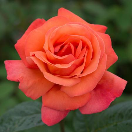 Trandafir Teahybrid Comet, butasi de trandafiri cu flori mari, parfumate, cu inflorire repetata, de culoare rosu-caramiziu intens, Yurta