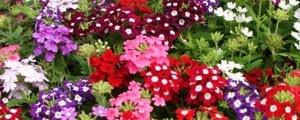 Urzicuta - Seminte Flori Urzicuta Planta Anuala de la Florian