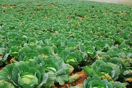 Varza de Buzau (12500 seminte), varza de toamna, SCDL Buzau