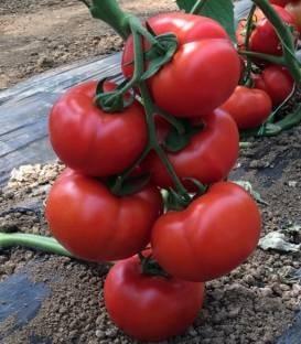 Vitara F1 (250 seminte) seminte de rosii nedeterminate timpurii, Fito Semillas