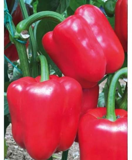 Aktor F1 - 500 sem - Seminte de ardei cu fruct dulce si de culoare rosu aprins cu productivitate foarte mare si rezistenta la temperaturile ridicate de la Yuksel