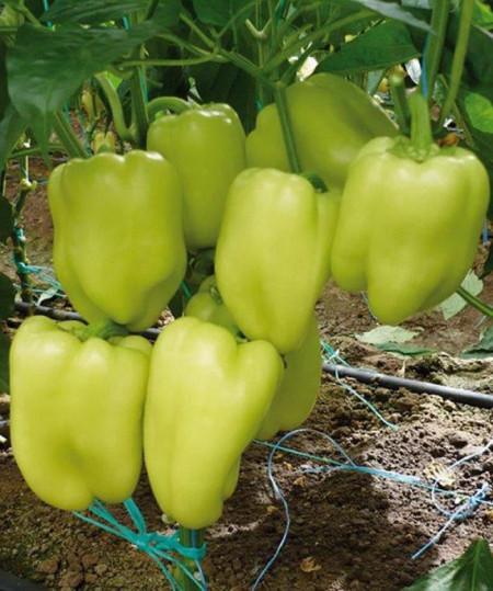 Ardei gras Soroksari tip dolma (1 kg), seminte de ardei gras soi semitimpuriu, Agrosem