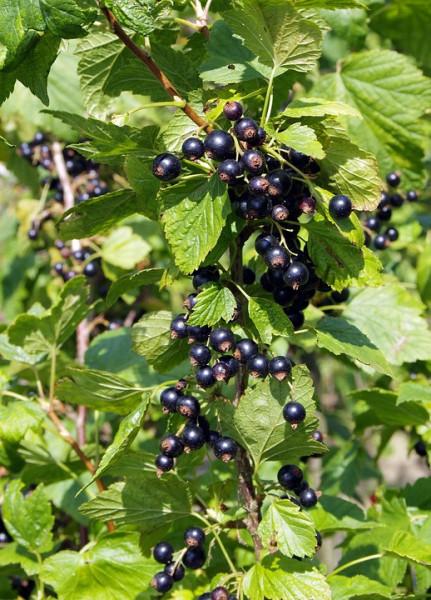 Coacaz negru Perla Neagra, butasi de coacaze soi foarte productiv, cu fructe gustoase, Yurta