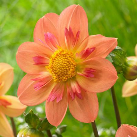 Dalie Kelsey Annie Joy (1 bulb), floare culoare portocaliu, bulbi de flori