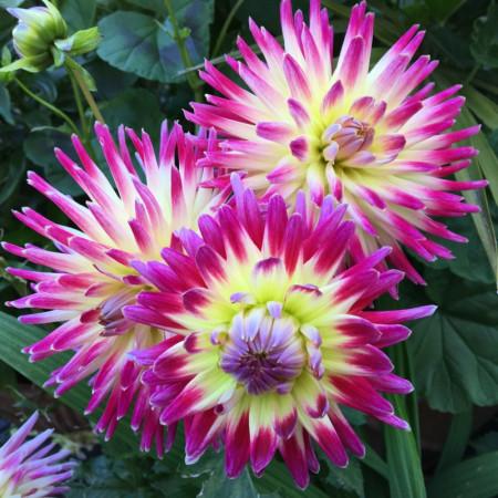 Dalie Tahiti Sunrise (1 bulb), floare culoare ciclam cu galben, tip cactus, bulbi de flori