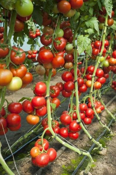 Doufu F1 - 1000 sem Seminte de tomate cu crestere nedeterminata usor de cultivat deoarece plantele sunt bine echilibrate cu port deschis si generativ de la Rijk Zwaan