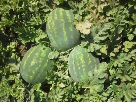 E42 F1 - 1000 sem - Seminte de pepene verde cu fructe ovale greutate medie 12-14 kg pulpa dulce si p structura crocanta atragatoare de la Cora Seeds