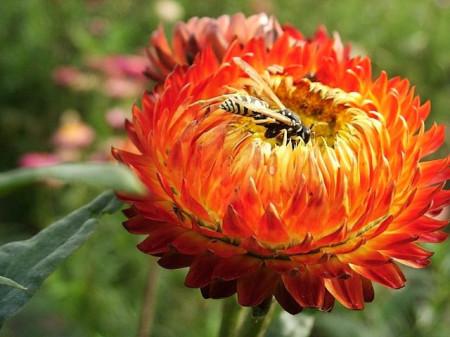 Flori de pai portocalii (0.4 grame) seminte de flori pentru uscare, Agrosem