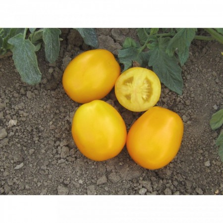 Goldy F1 - 100 sem - Seminte de rosii prunisoara portocalie cu fructe blocy-ovale si o crestere determinata gust dulce aromat ce se preteaza atat pentru recoltarea manuala cat si pentru cea mecanizata de la ISI Sementi