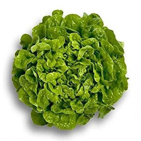 Kitonia - 1000 sem - Seminte drajate de salata creata tip oak leaf (frunza de stejar) ce se preteaza excelent pentru salate de un verde deosebit de la Rijk Zwaan