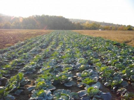 Kyose varza de vara-toamna (2500 seminte) de varza soi tardiv de vara-toamna, Opal Bulgaria